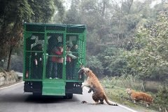 El zoológico chino donde los visitantes son enjaulados y los animales caminan li...