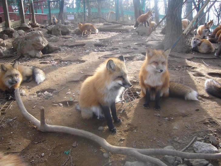 Zao Fox Village Japon (10)
