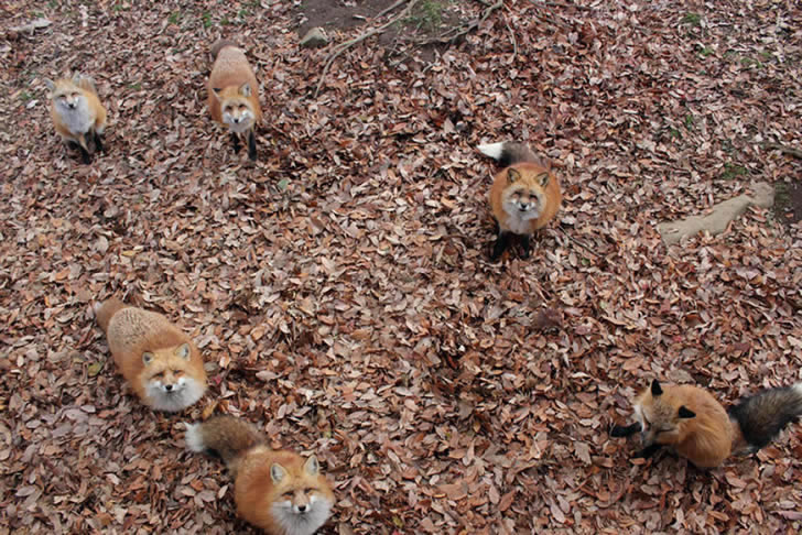 Zao Fox Village Japon (12)