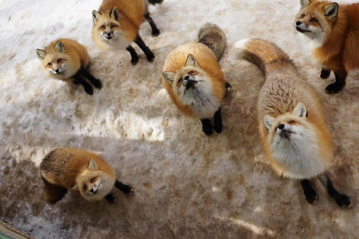 Zao Fox Village Japon (17)