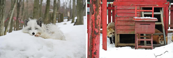Zao Fox Village Japon (19)