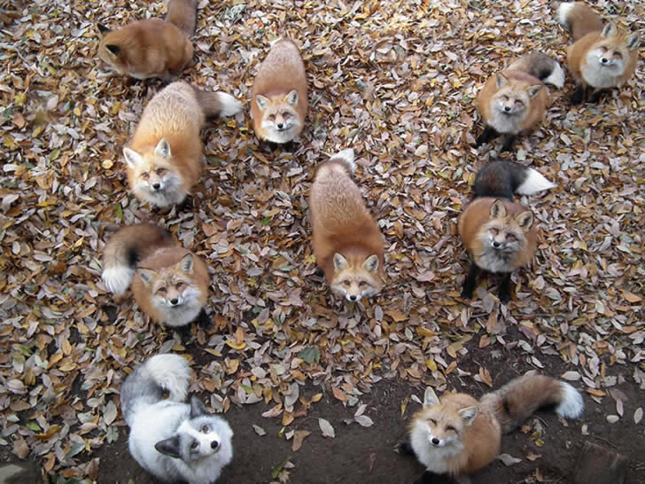 Zao Fox Village Japon (2)