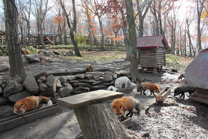 Zao Fox Village Japon (20)