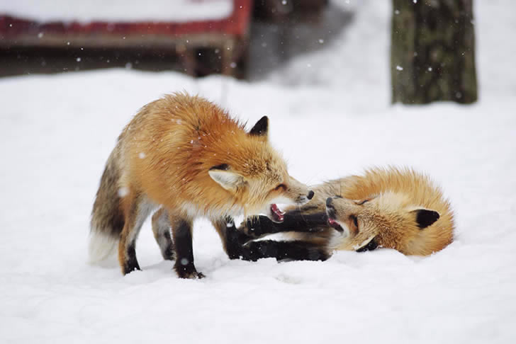 Zao Fox Village Japon (21)