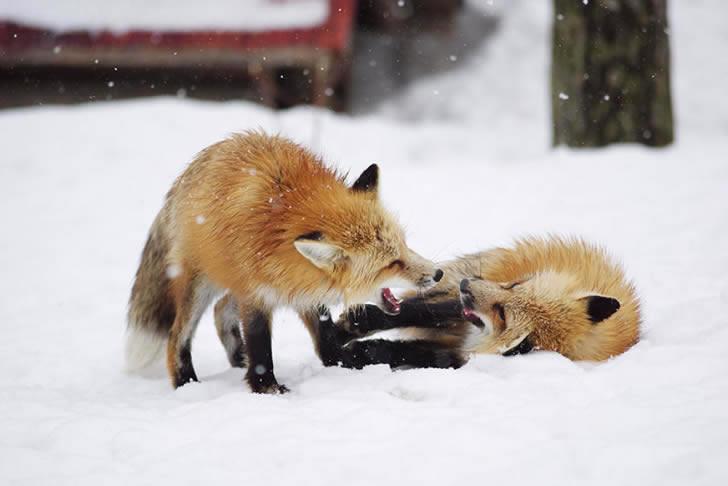 Zao Fox Village Japon (21)