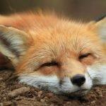 Santuario de zorros en Japón, un sitio realmente adorable