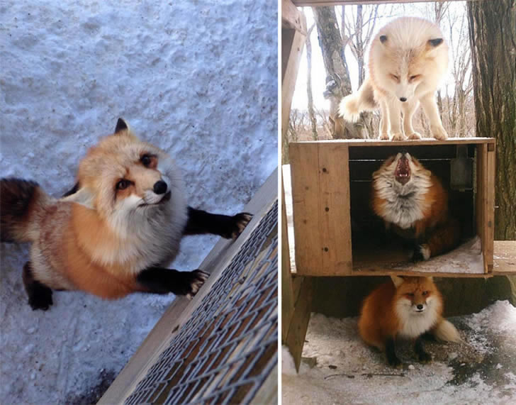 Zao Fox Village Japon (23)