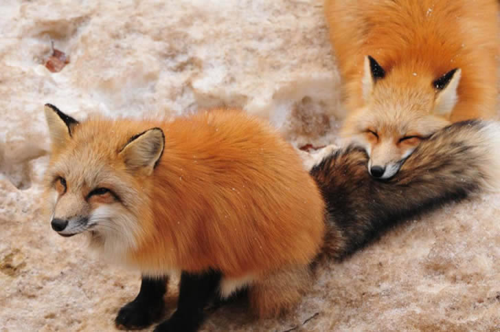 Zao Fox Village Japon (24)