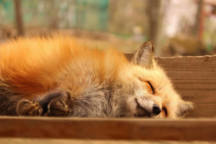 Zao Fox Village Japon (3)