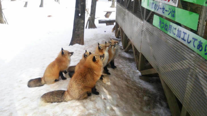 Zao Fox Village Japon (4)