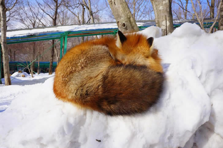 Zao Fox Village Japon (5)