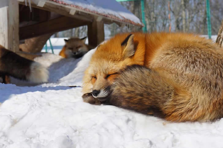 Zao Fox Village Japon (6)