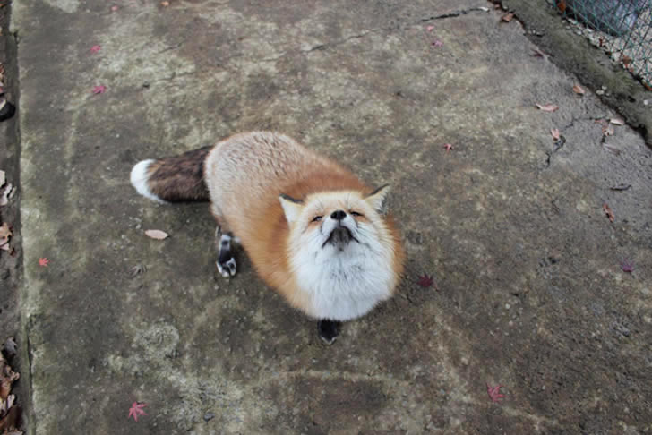Zao Fox Village Japon (7)