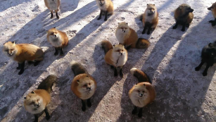 Zao Fox Village Japon (8)