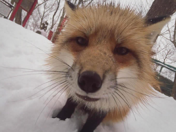Zao Fox Village Japon (9)