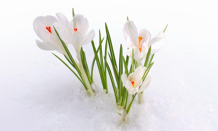 flores nieve