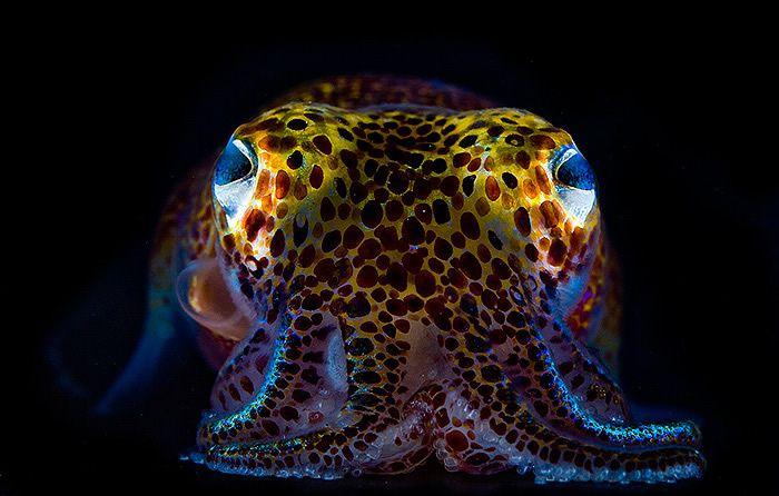 calamar awaiano