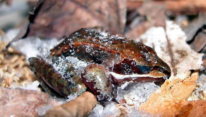rana de la madera