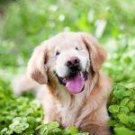 Perro que nació sin ojos lleva alivio a enfermos a través de la terapia
