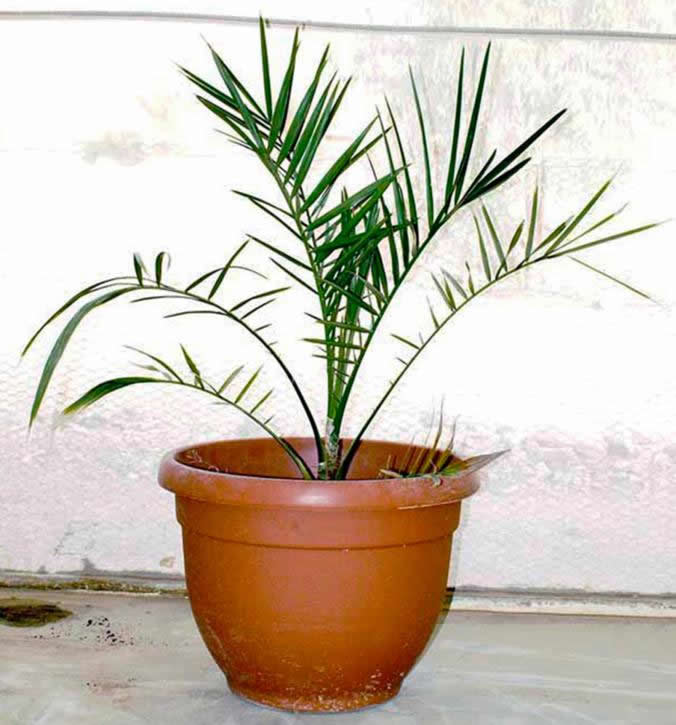 Matusalen palma datilera judea
