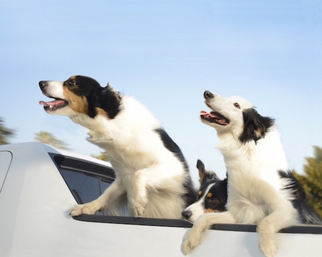 Perros ventanas autos (10)