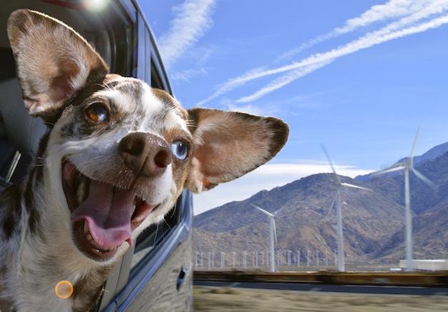 Perros ventanas autos (11)