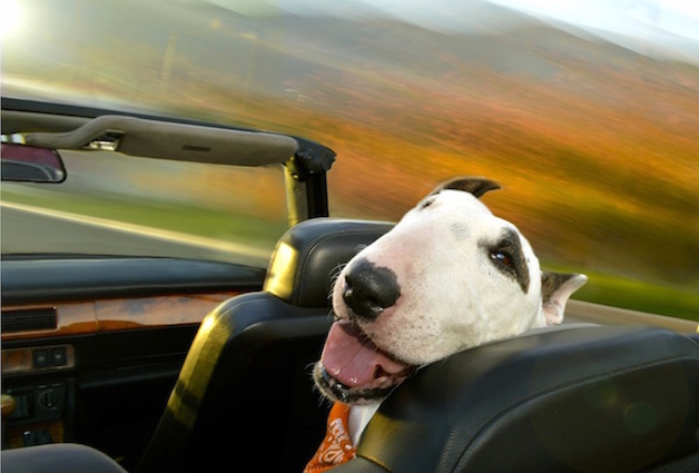 Perros ventanas autos (13)