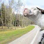 Serie fotográfica registra la felicidad de los perros que viajan en las ventanas