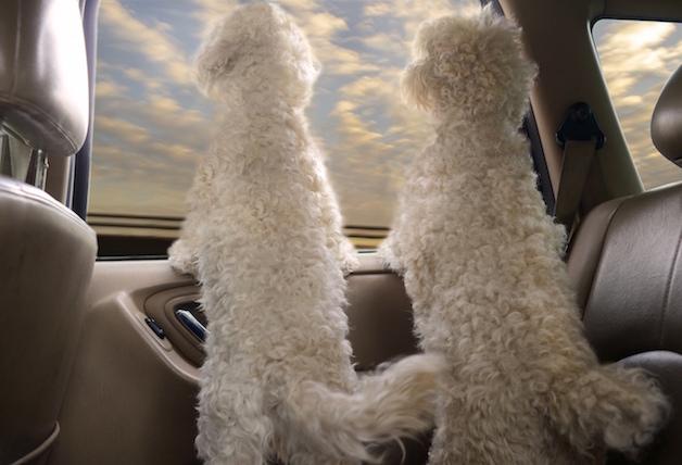 Perros ventanas autos (2)