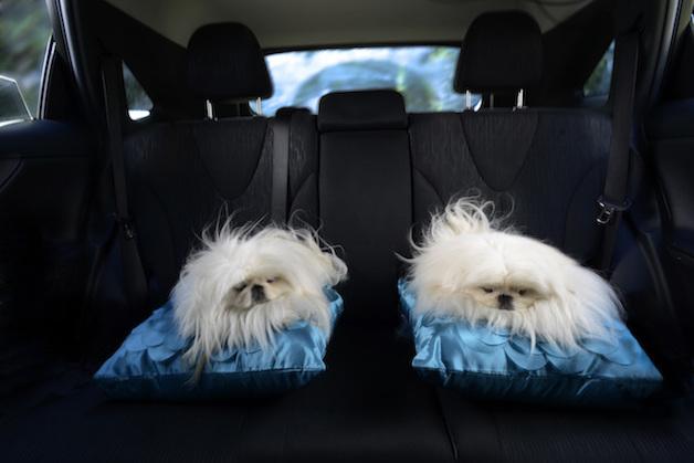 Perros ventanas autos (3)