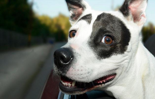 Perros ventanas autos (8)