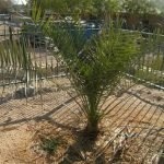 Árbol bíblico que germinó de una semilla de 2 mil años genera descendientes en Israel