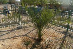Árbol bíblico que germinó de una semilla de 2 mil años genera descendientes en I...