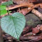 Yimpi yimpi, una planta australiana que retuerce del dolor