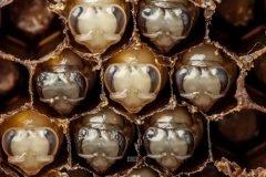 El fascinante proceso de desarrollo de las abejas en time-lapse + VIDEOS