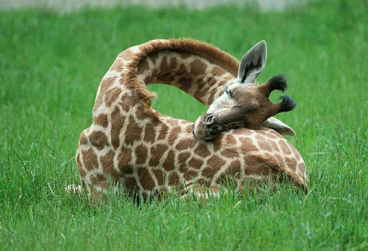 jirafa durmiendo (1)