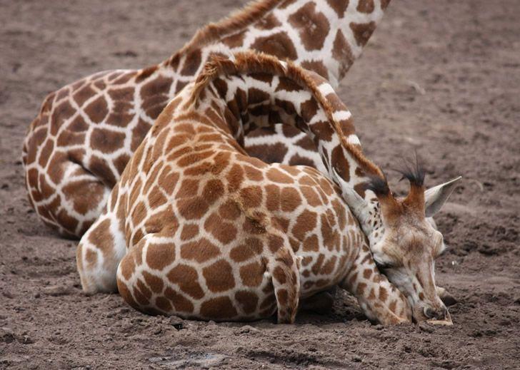 jirafa durmiendo (3)