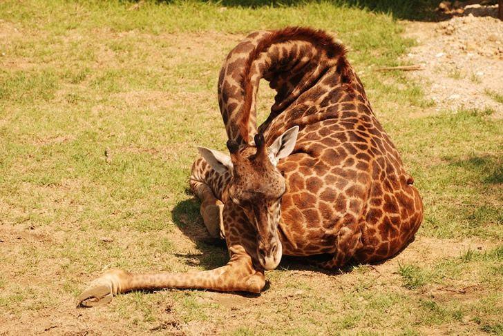 jirafa durmiendo (4)