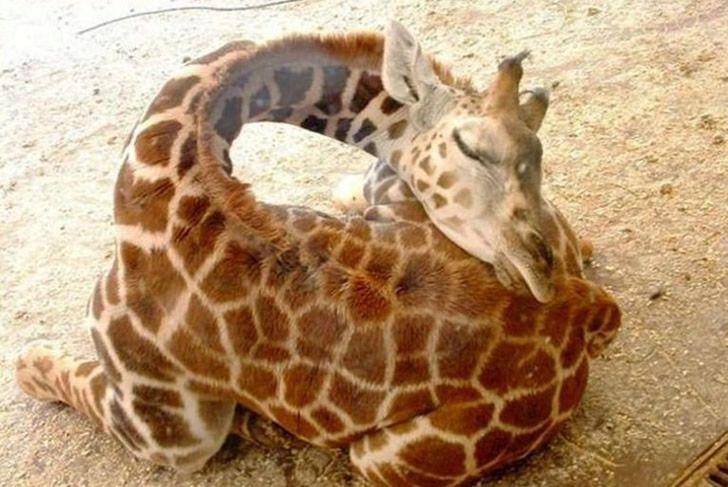 jirafa durmiendo (5)