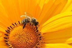 ¿La extinción de las abejas puede aniquilar a la humanidad?