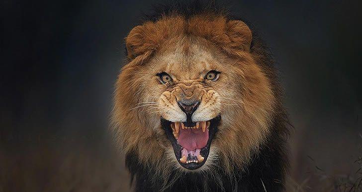 ataque leon