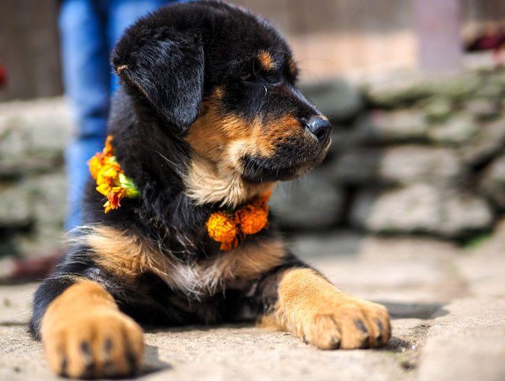 festival perros nepal (3)
