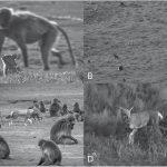 Monos conviven en paz con lobos, en algo parecido a la domesticación