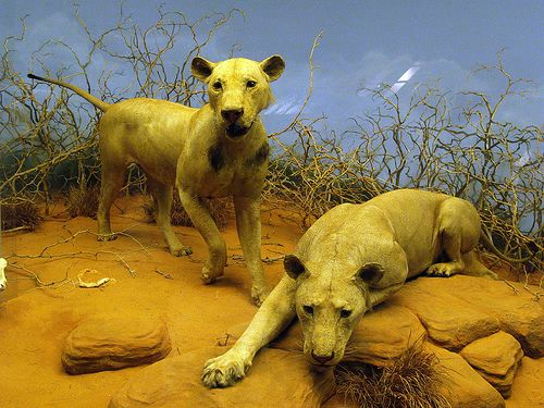 leones tsavo