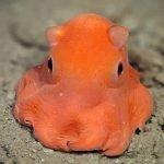 """Científicos quieren llamar a este pulpo """"adorabilis"""""""