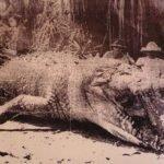 Krys the Savannah King, el legendario cocodrilo de 8.6 metros capturado en 1957
