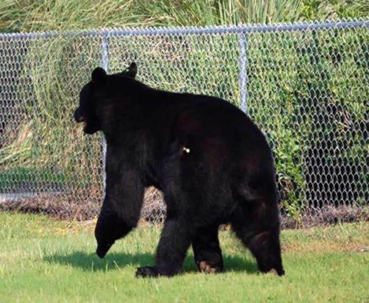 Adam Warwick rescate oso (2)