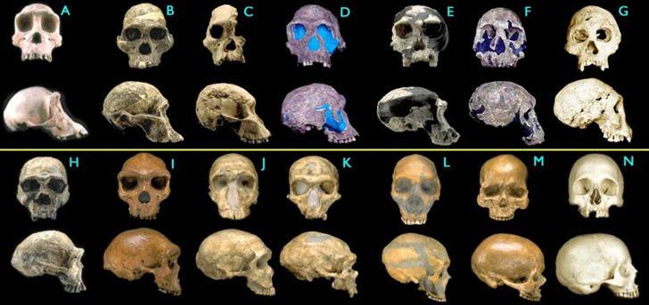 desarrollo craneo homo sapiens