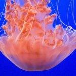 ¿Cuál es el tratamiento contra la picadura de medusa?
