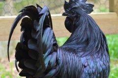 Ayam Cemani, el pollo negro hasta los órganos